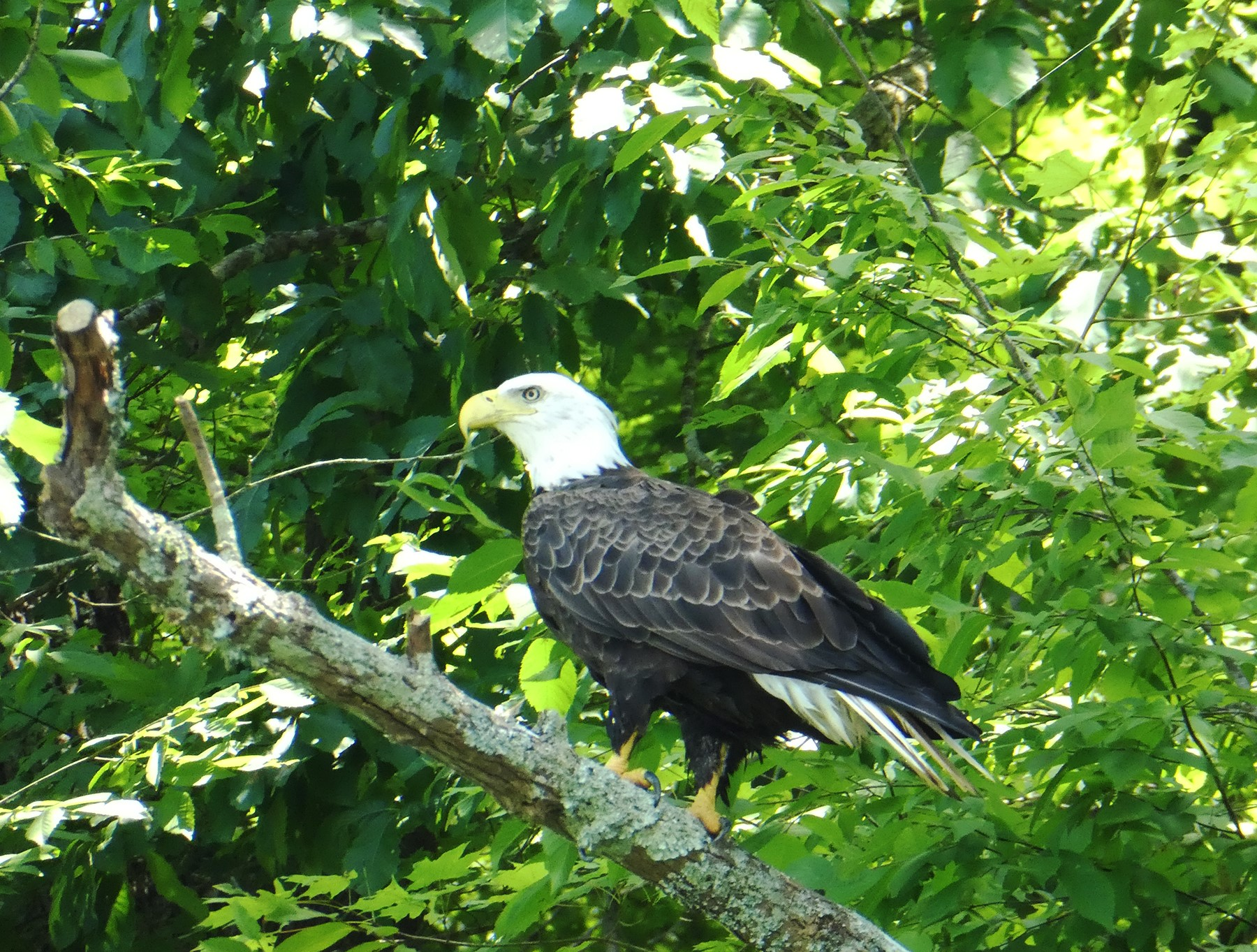 Bald eagle in tree near my home